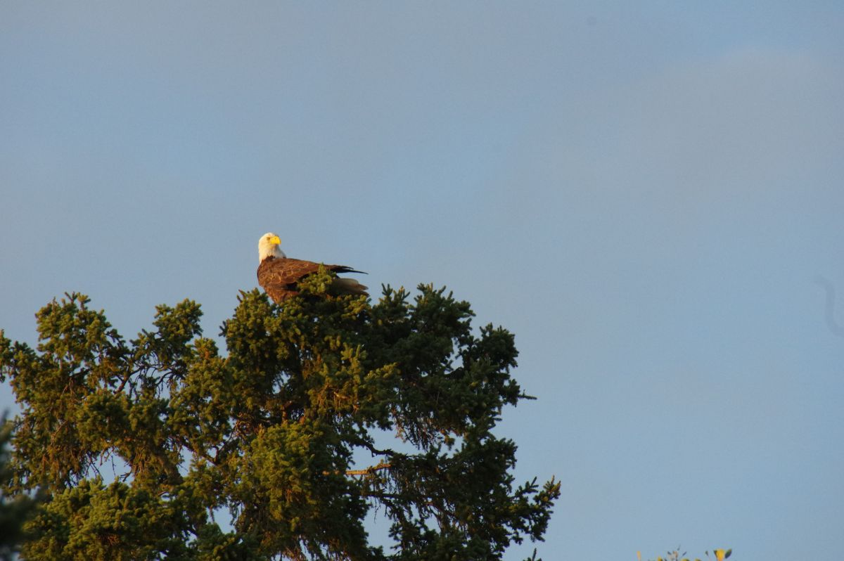 bald eagles are everywhere in Sunset Country