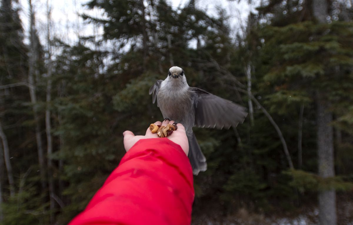 grey-jay-bird-feeding-whisky-jacks