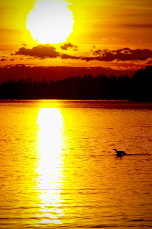 Common loon and her young at sunset
