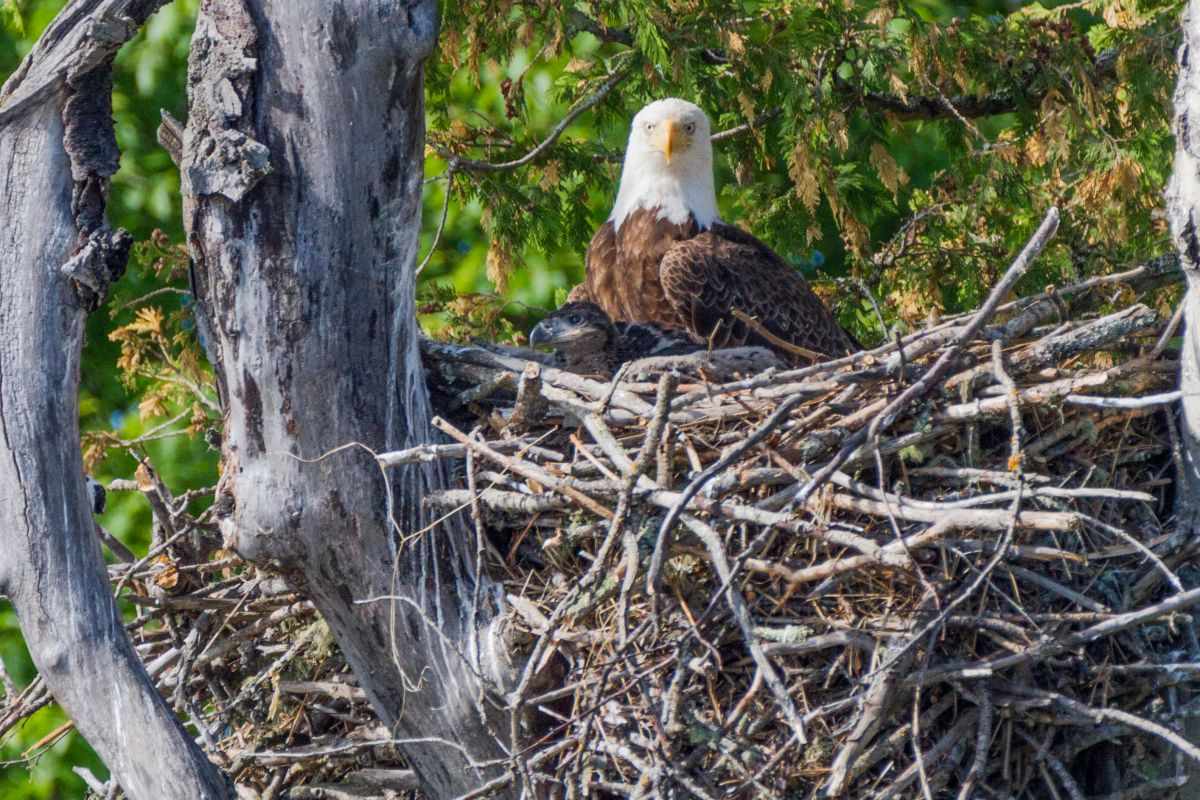 Bald Eagle and its young